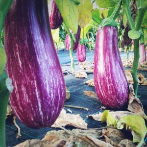 new_0070_aubergine 2